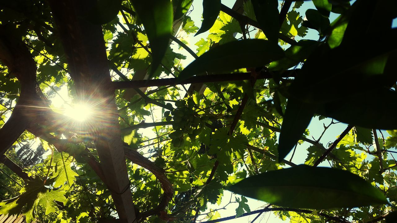 lens flare, sunlight, nature, growth, sun, sunbeam, leaf, low angle view, tree, beauty in nature, outdoors, day, green color, no people, branch, freshness, close-up, sky