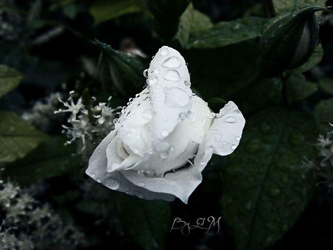 Enjoying Life Nature Plants Photography Flor Para Ti Garden Of Everyting Desde Mi Cielo Mexico Puebla Enjoy Life Rain Drops Love Rosa Blanca
