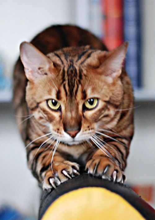 Cut Pets My Home Leopard Bengal Cat My Cat