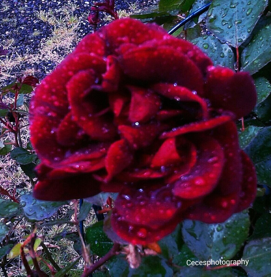 Enjoying Life Flower Raindrops Roses🌹 Hi! Taking Photos Playing With Filters Awesome Filter Cecesphotography RePicture Travel