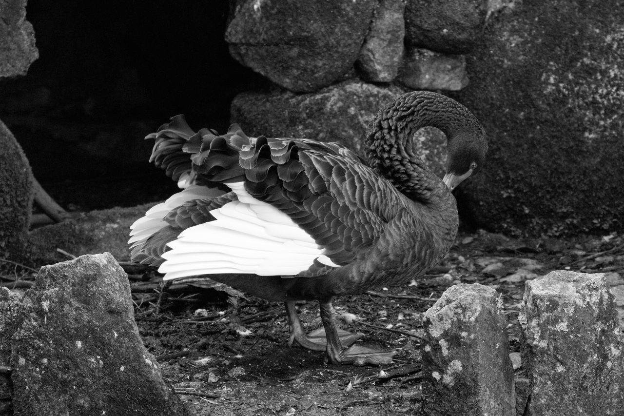 Black Swan Animal Themes Animals Bird Bird Photography Birds Of EyeEm  Birdwatching Black & White Black Swans Black And White Blackandwhite Blackandwhite Photography Bnw Eye4photography  EyeEm EyeEm Best Shots EyeEm Bnw EyeEmBestPics Monochrome Swan EyeEm Gallery Taking Photos Portugal
