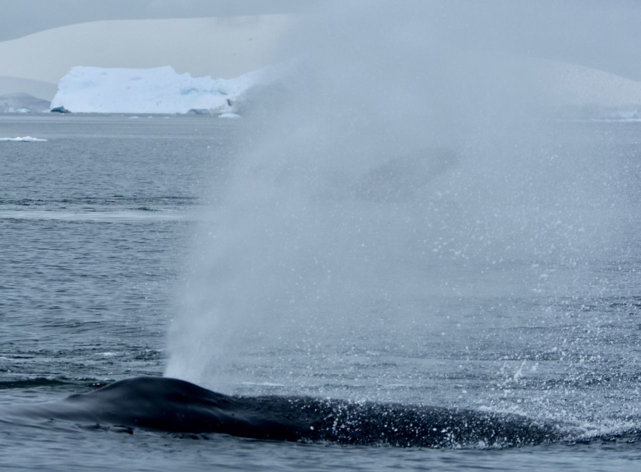 water, sea, motion, no people, nature, day, beauty in nature, one animal, waterfront, humpback whale, outdoors, animals in the wild, whale, aquatic mammal, animal themes, swimming, sea life, sky, iceberg, mammal