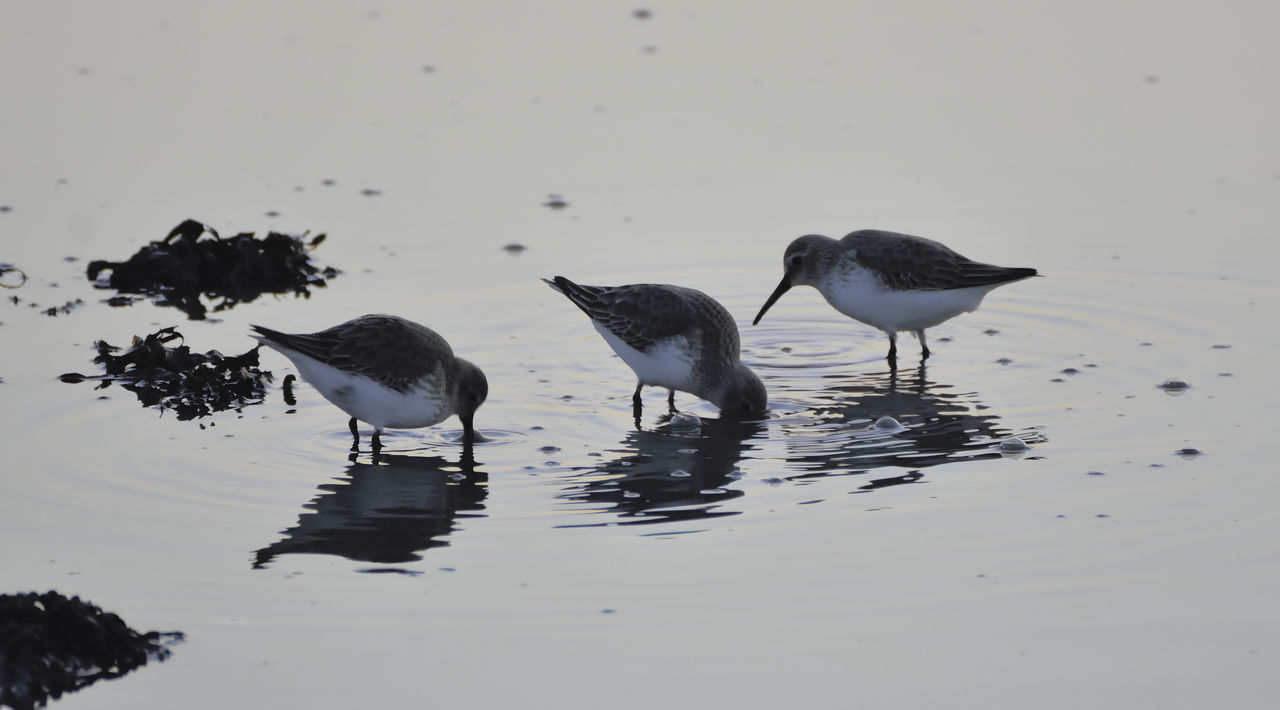 Actitis Hypoleucos Animal Themes Animal Wildlife Animals In The Wild Beach Beauty In Nature Bird Bird Photography Birds Of EyeEm  Birds_collection Common Sandpiper Day Nature Nature Photography Nature_collection No People Outdoors Wading Water Wildlife Wildlife & Nature Wildlife Photography
