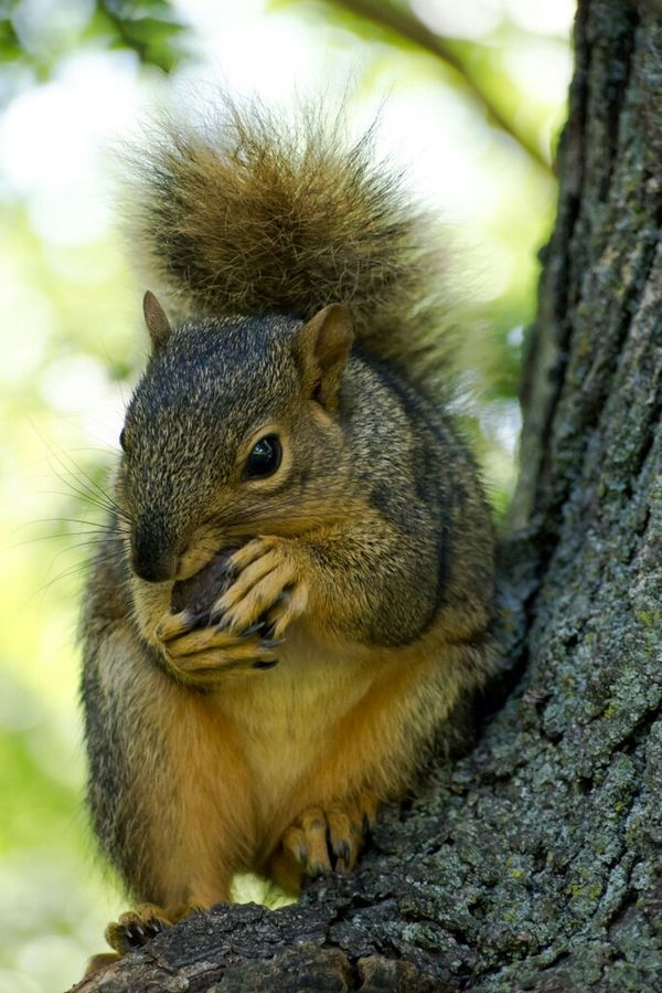 Nut!!! Animals Animal A Squirrel Squirrel Rodent Nature