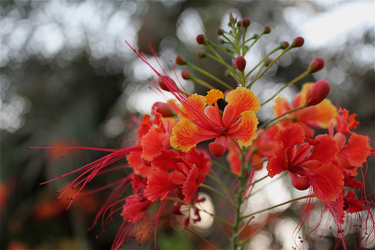 flower, petal, freshness, fragility, beauty in nature, flower head, nature, no people, red, growth, close-up, day, outdoors, blooming
