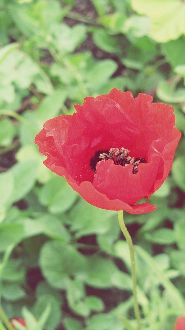 🔼Papavero🔼 Papavero Flower Fioriture Color Nature Passionflower Rouge