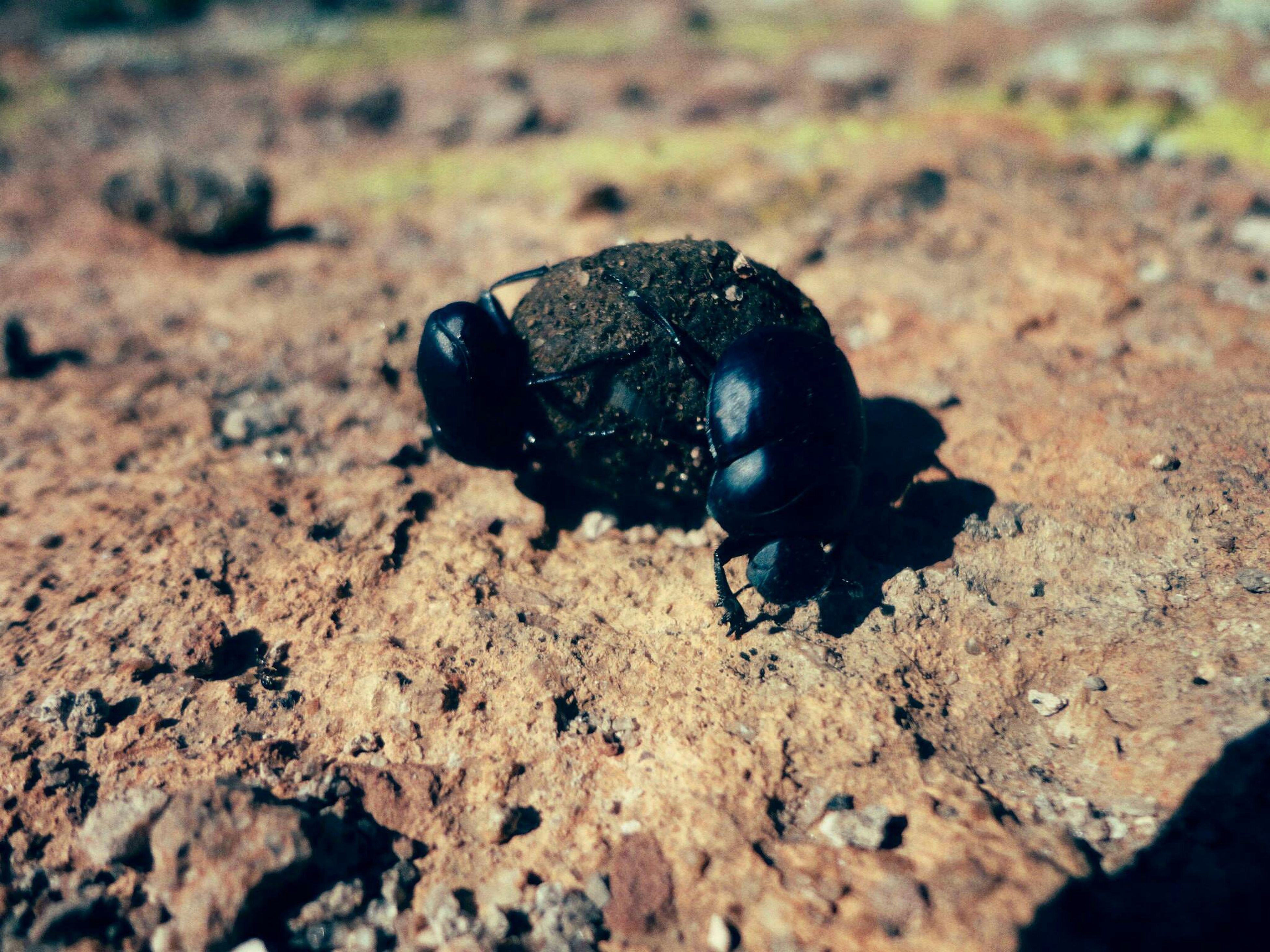 close-up, one animal, animal themes, insect, selective focus, high angle view, nature, animal shell, wildlife, sand, rock - object, day, ground, animals in the wild, focus on foreground, stone - object, outdoors, no people, beach, field