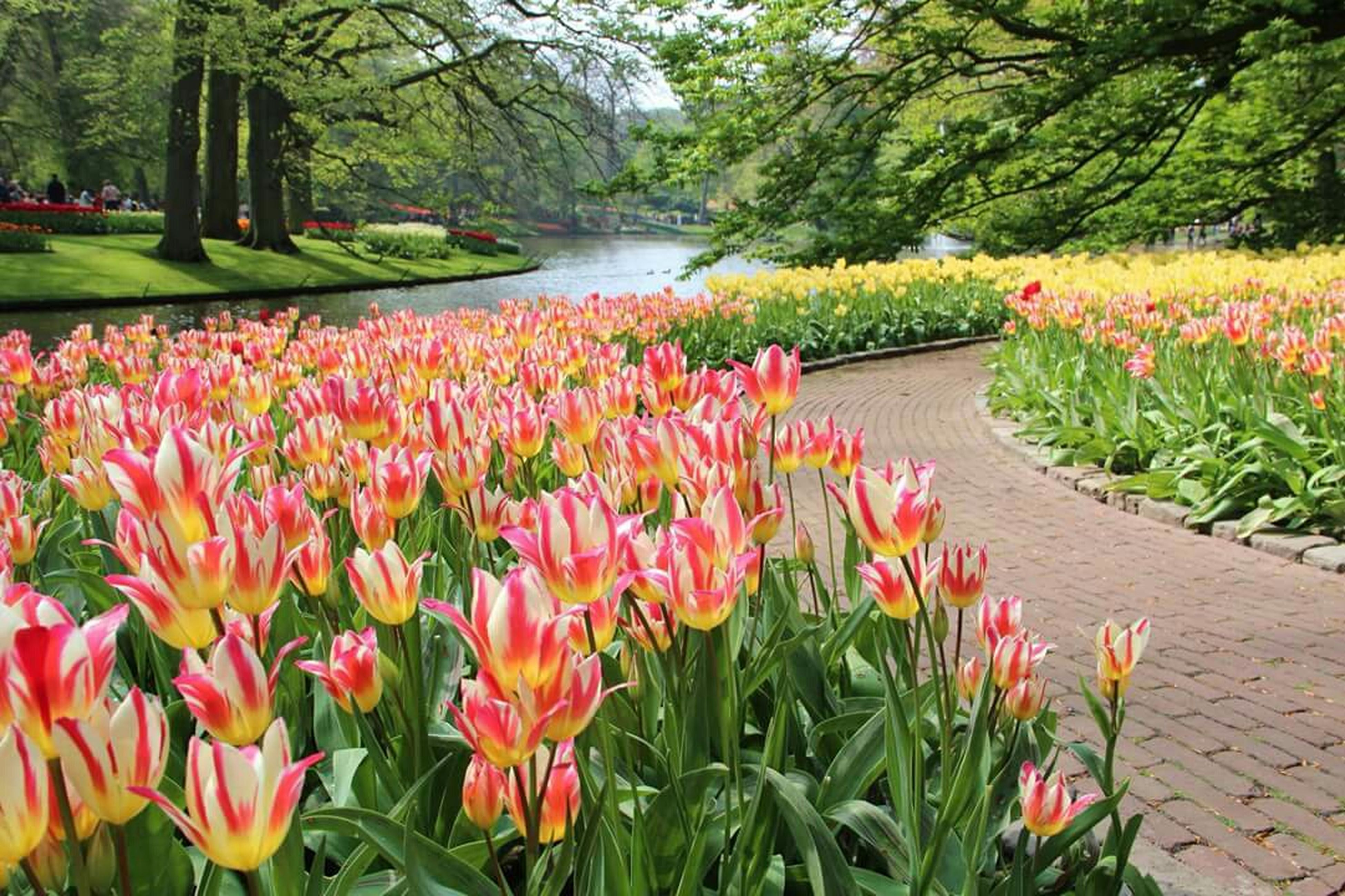 flower, freshness, growth, beauty in nature, fragility, petal, tulip, nature, multi colored, red, plant, blooming, flowerbed, abundance, flower head, in bloom, park - man made space, blossom, colorful, green color