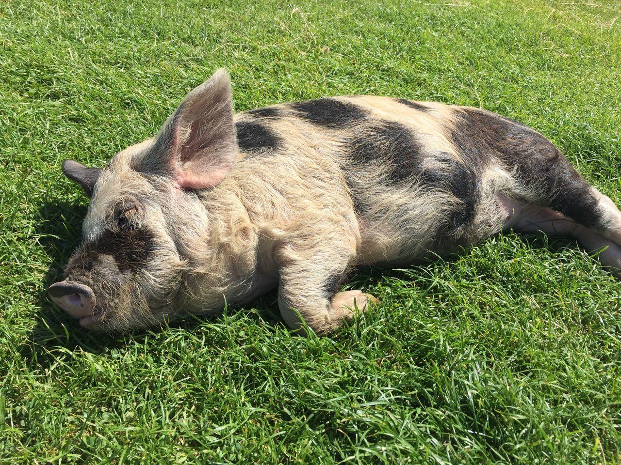 Pig Sleeping Pig Outdoors Fresh On Eyeem  Lazy Day Sunbathing Animal Themes
