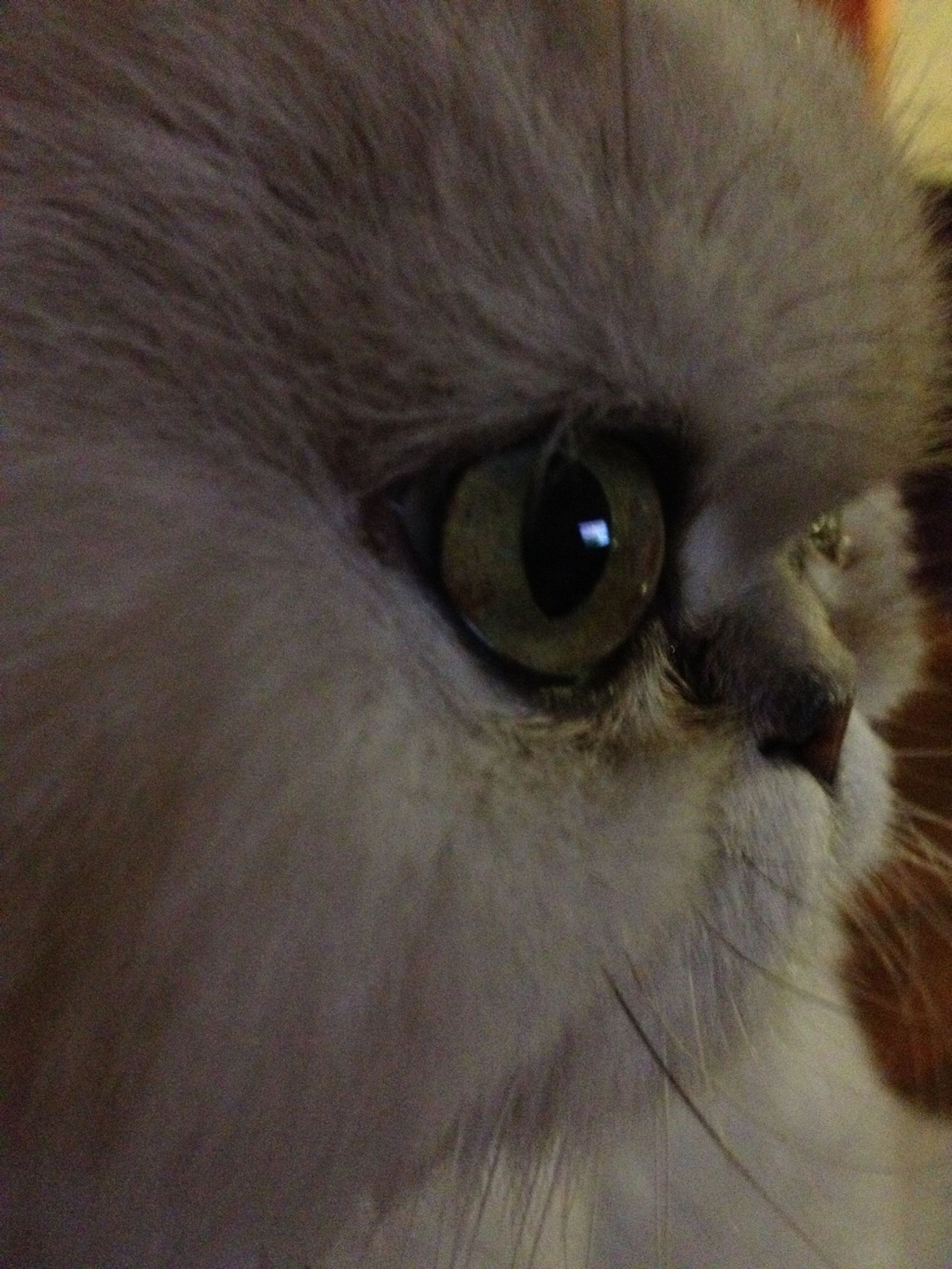 one animal, animal themes, pets, domestic animals, domestic cat, cat, animal head, animal eye, mammal, feline, animal body part, close-up, whisker, indoors, animal hair, staring, portrait, looking at camera, zoology