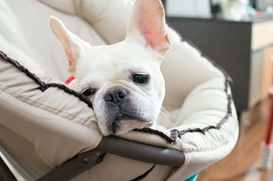 Beautiful stock photos of french bulldog, Animal Themes, Baby Carriage, Day, Dog