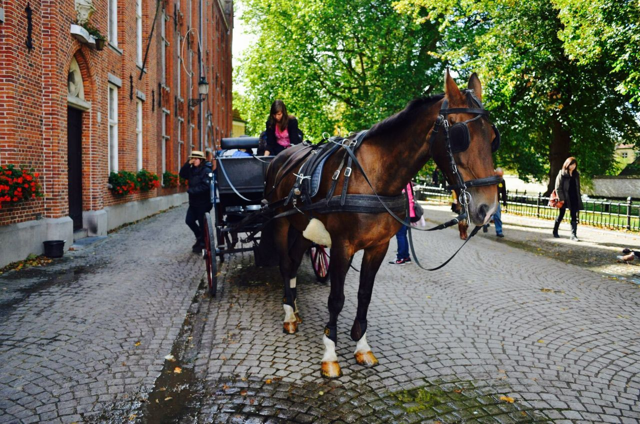 horse, domestic animals, working animal, horse cart, animal themes, cobblestone, horsedrawn, mammal, carriage, tree, transportation, outdoors, day, built structure, riding, building exterior, one animal, real people, architecture