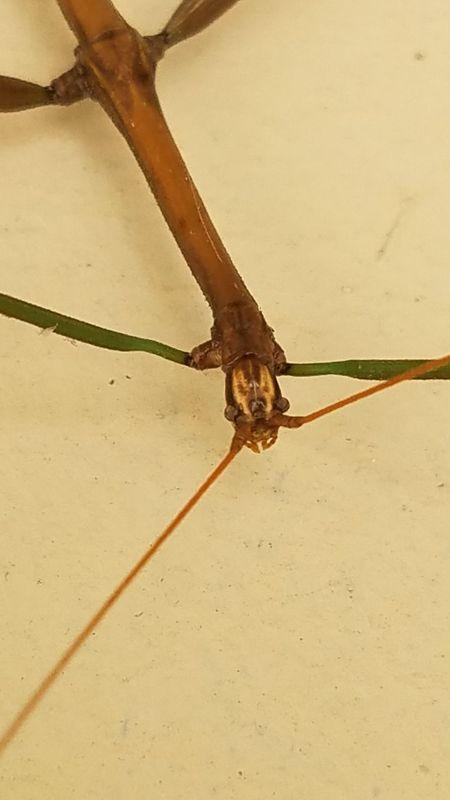 Insect Crawling Walking Stick No People Close-up Atchison Kansas