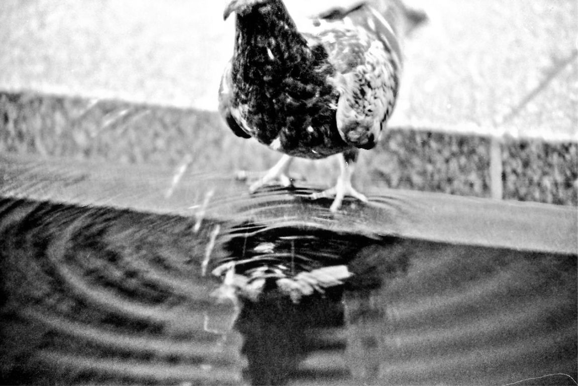 Bird Animal Themes One Animal Outdoors Day Water No People Nature Animals In The Wild Full Length Close-up Film Noir Filmcamera Filmisnotdead Film Photography Black And White 35mmfilmphotography Canon Film Camera Black And White Friday