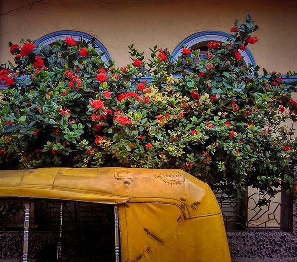 Blooms.... . . . Redmi2Prime Redmiclicks Redmi _soi Ig_calcutta India Kolkata Incredibleindia Indiapictures Indiaclicks Storiesofindia Streetsofkolkata Streetphotography Streetsofindia Instagrammers Dailylifeindia Indiadaily Snapseededit Snapseed Desi_diaries Pixelpanda_india Mobilephotography Ig_indiashots Click_india Ig_india natgeoindia flowerstagram