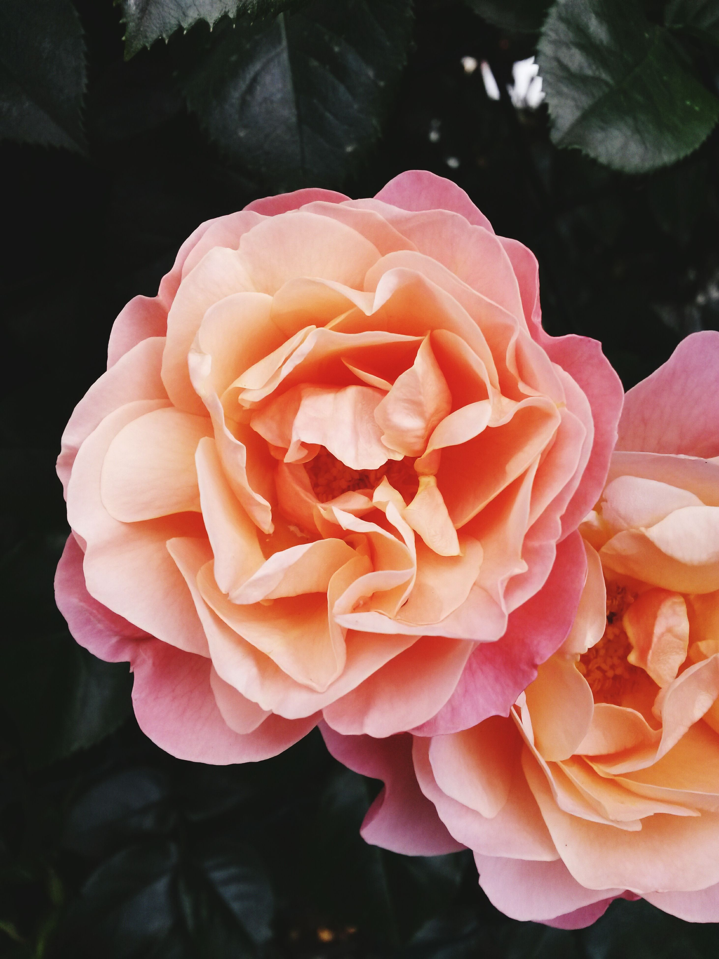 flower, petal, freshness, flower head, fragility, rose - flower, beauty in nature, growth, close-up, nature, blooming, single flower, rose, in bloom, pink color, focus on foreground, plant, blossom, single rose, no people