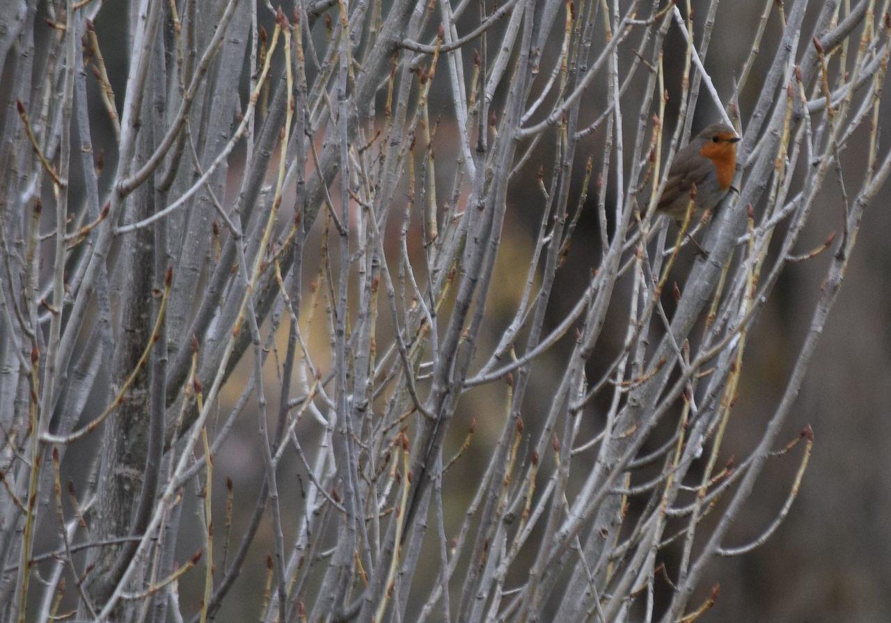 Animal Themes Bird Nature No People One Animal Outdoors Poplar Tree Robin