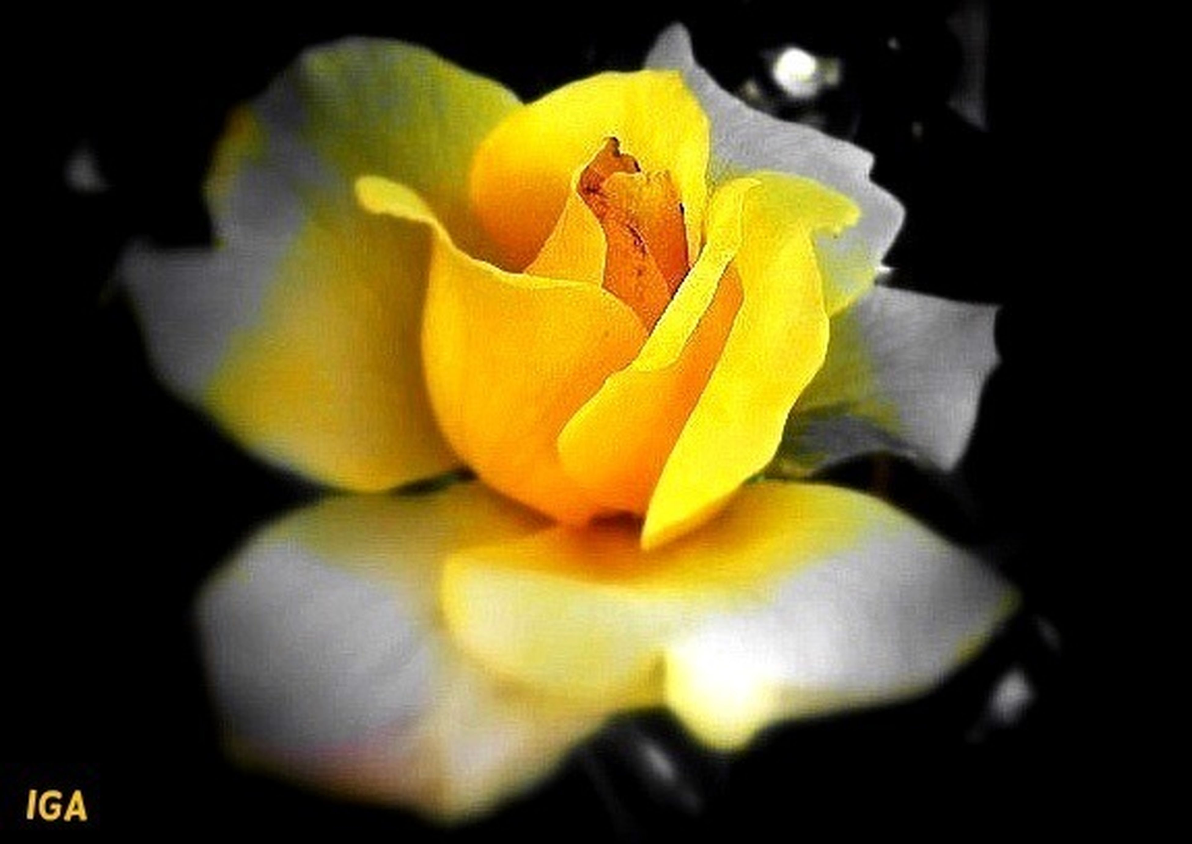 flower, petal, flower head, yellow, fragility, freshness, beauty in nature, close-up, growth, blooming, nature, single flower, rose - flower, focus on foreground, in bloom, plant, blossom, selective focus, black background, no people