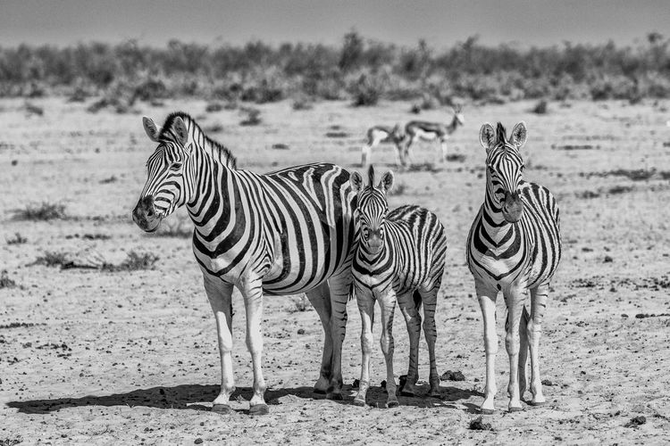 Animal Themes Beauty In Nature Etosha National Park Field Focus On Foreground Landscape Namibia Standing Zebra