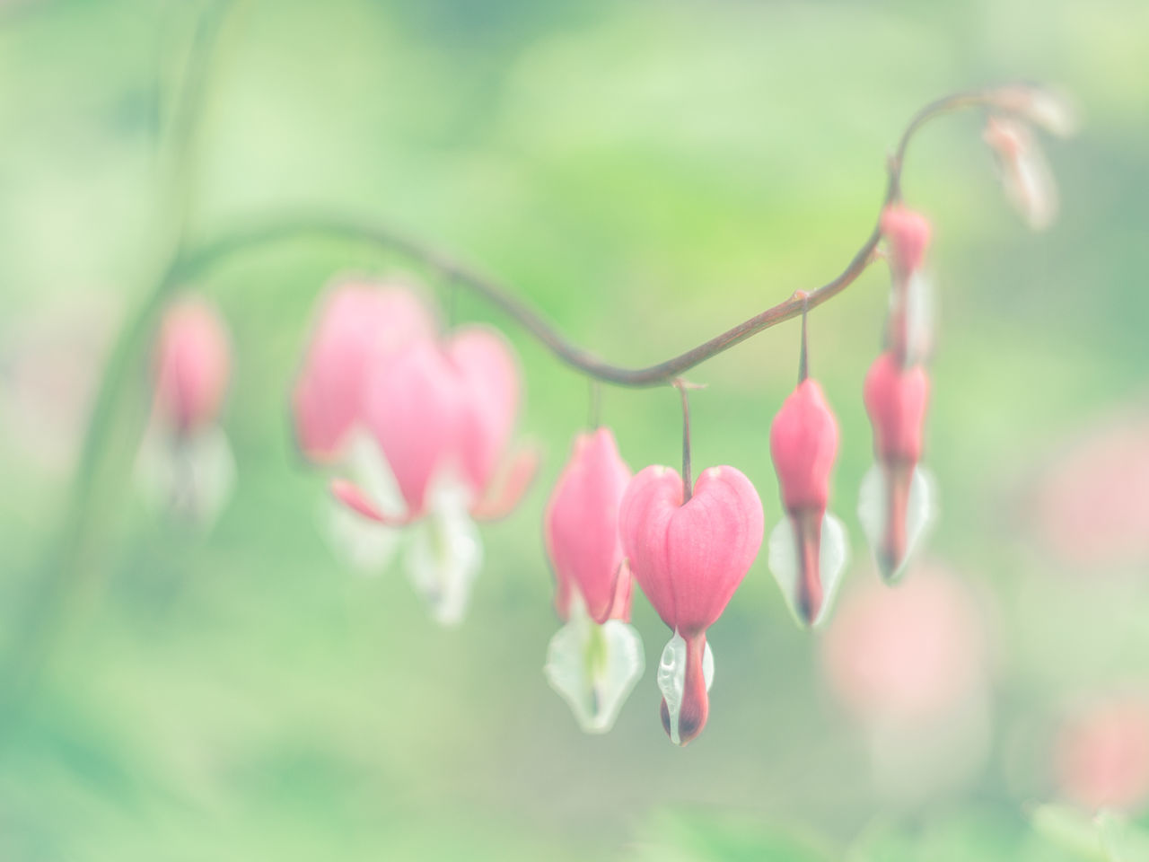 Pink Beauty In Nature Blooming Close-up Day Flower Focus On Foreground Fragility Freshness Growth Hearts Nature No People Outdoors Pastel Pastel Colors Plant