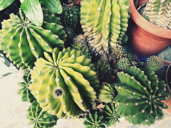 EyeEm Selects Cactus Green Color Nature Close-up Beauty In Nature Prickly Pear Cactus Growth Plant Thorn High Angle View Outdoors Day No People