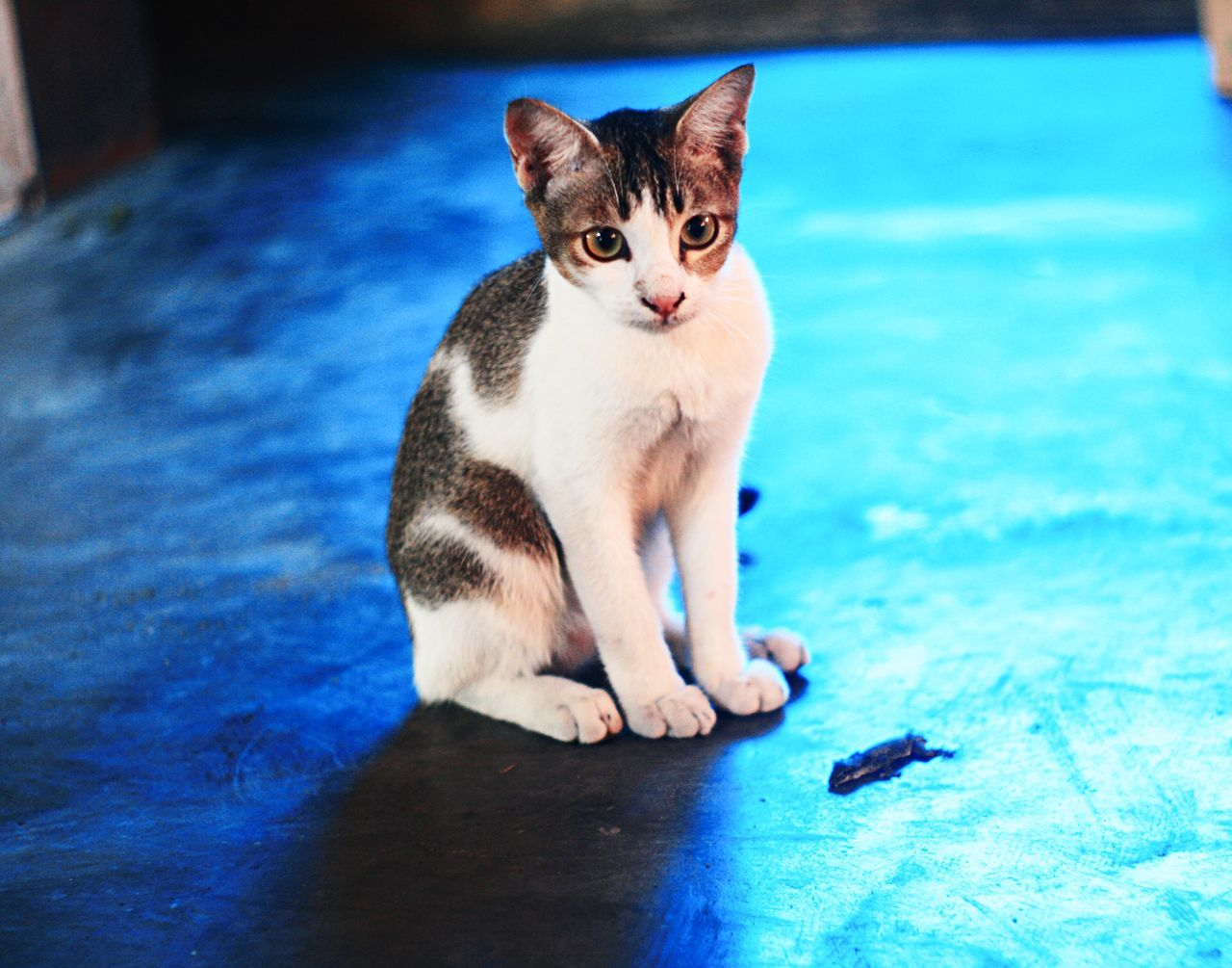 kitty Animal Themes Blue Day Domestic Animals Domestic Cat Feline Indoors  Mammal No People One Animal Pets Portrait Sitting