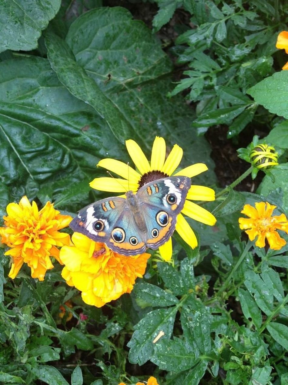 Momma saying hello. Susan Black Eyed Susan Butterfly Message From Heaven