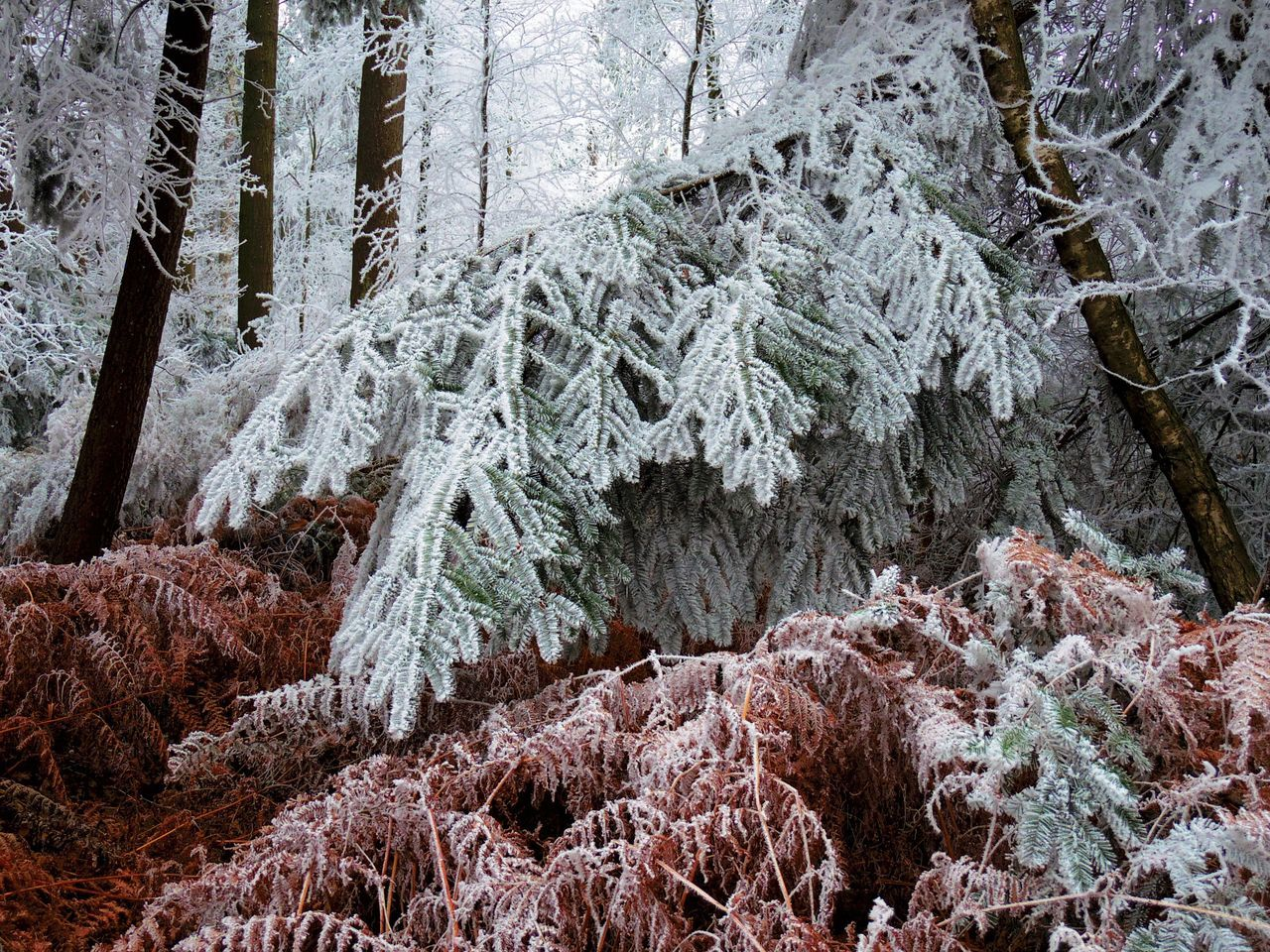 Frozen Tree Forest Winter Nature Beauty In Nature Plant Outdoors Growth Cold Temperature Landscape Scenics Snow
