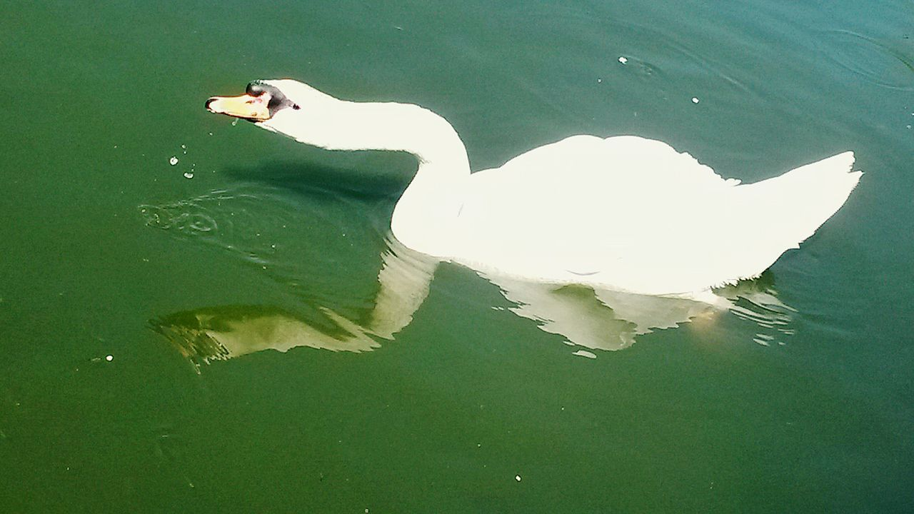 animal themes, water, lake, high angle view, animals in the wild, waterfront, one animal, day, animal wildlife, outdoors, nature, no people, bird, swimming, swan