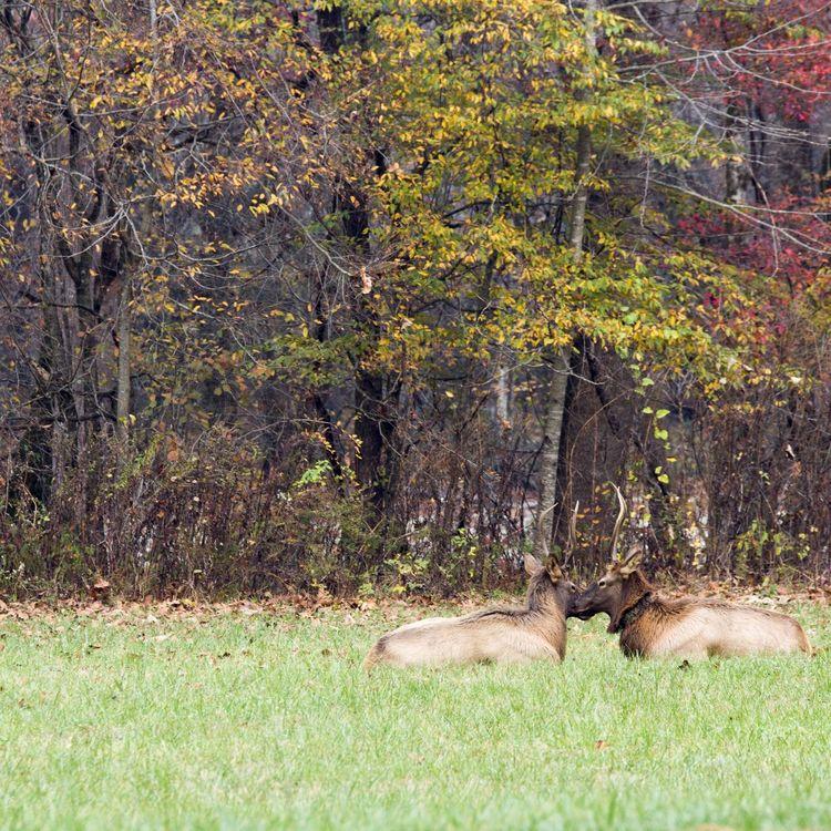 Nature No People Beauty In Nature Animal Themes Elks Thegreatsmokeymountains NC Cherokee Taking Photos