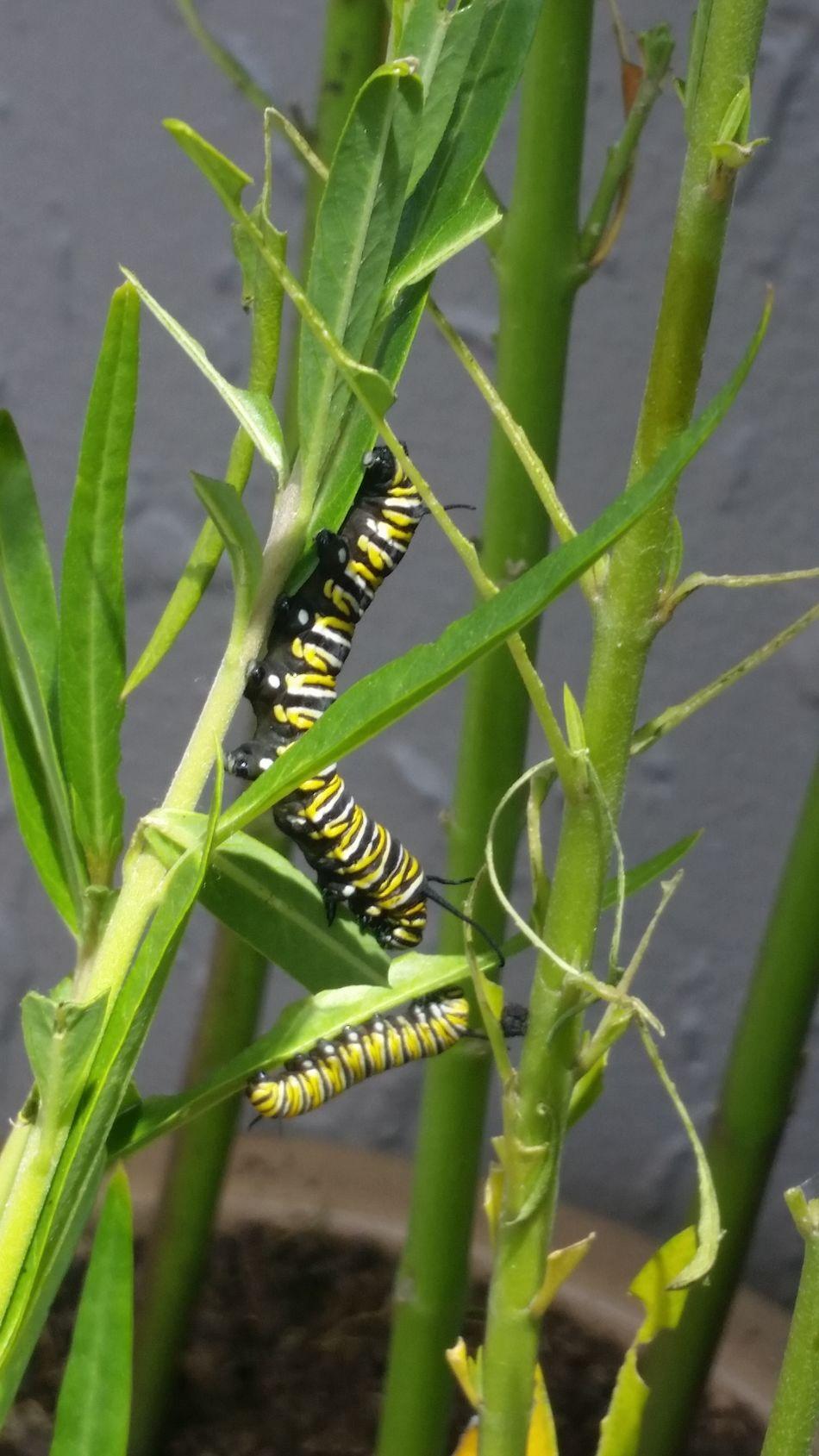 Caterpillar life. Taken with my samsung galaxy 5 EyeEmNewHere Fresh On Eyeem  Nature Scenics Eyeemnaturelovers Bugs! Beauty In Nature Bugslife Green Nature Greenery Lifeisbeautiful Newbegining