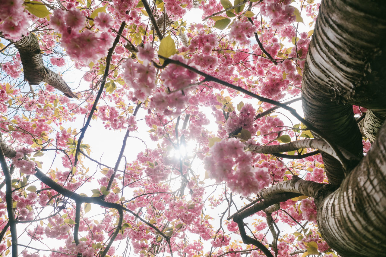 Low angel view of a japanese cherry tree with lots of fresh blossoms in direct sunlight Beauty In Nature Blossom Branch Close-up Day Flower Fragility Freshness Growth Low Angle View Nature Outdoors Pink Color Sky Springtime Tree