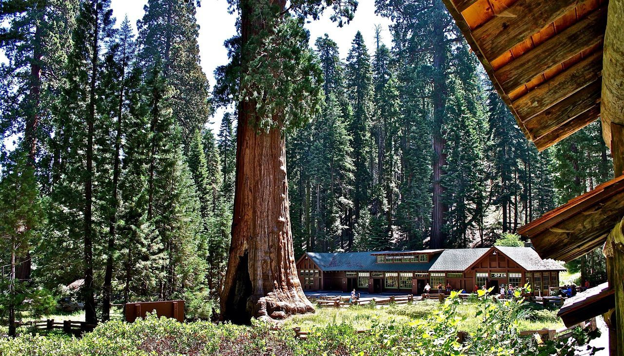 Giant Sequoias - National Park Giant Sequoia California Trees Redwoods California Redwoods Redwood Redwood Trees Bäume Traveling
