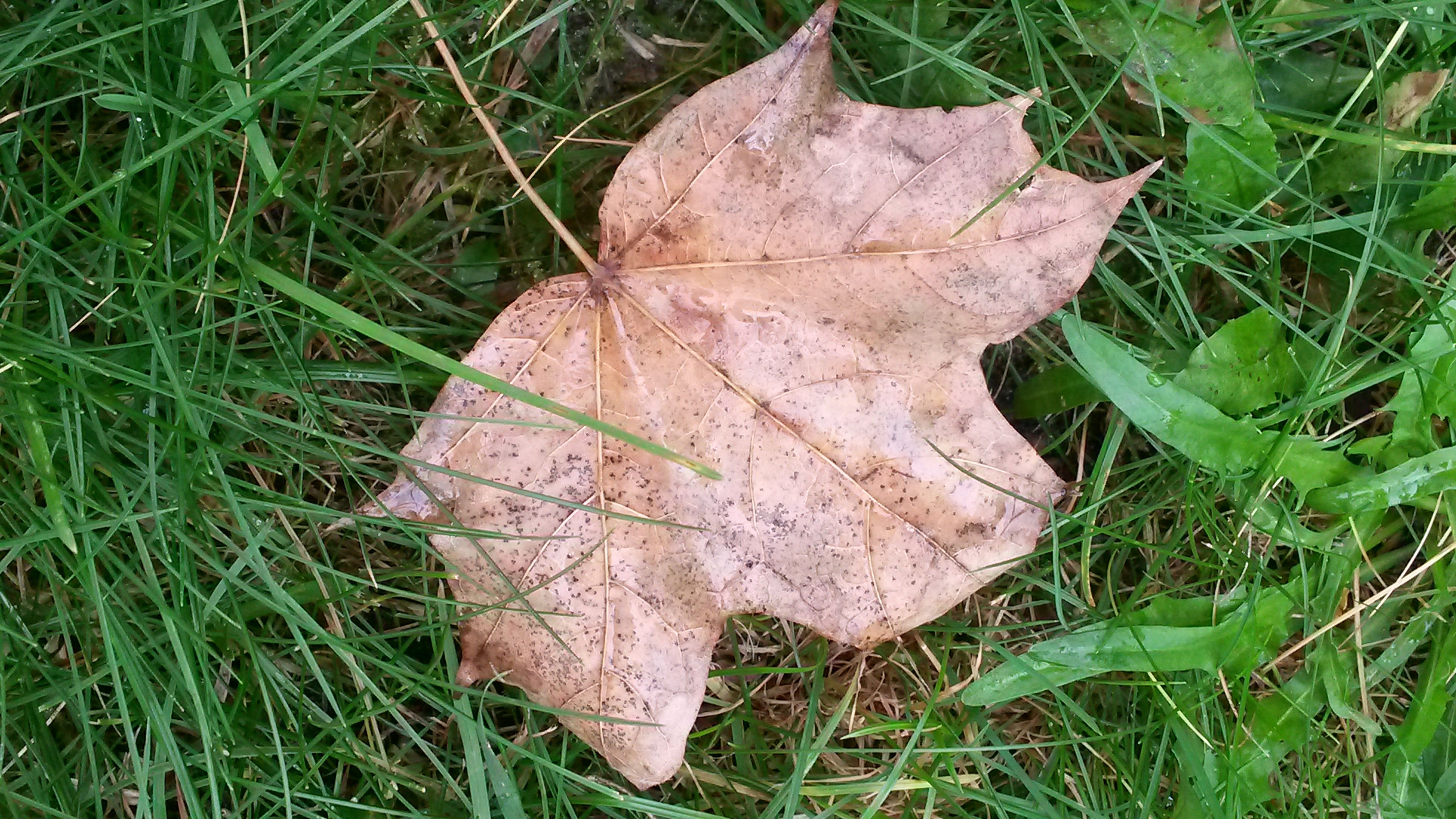 grass, leaf, dry, field, close-up, autumn, nature, high angle view, grassy, change, growth, fallen, day, leaf vein, green color, natural pattern, season, tranquility, plant, outdoors
