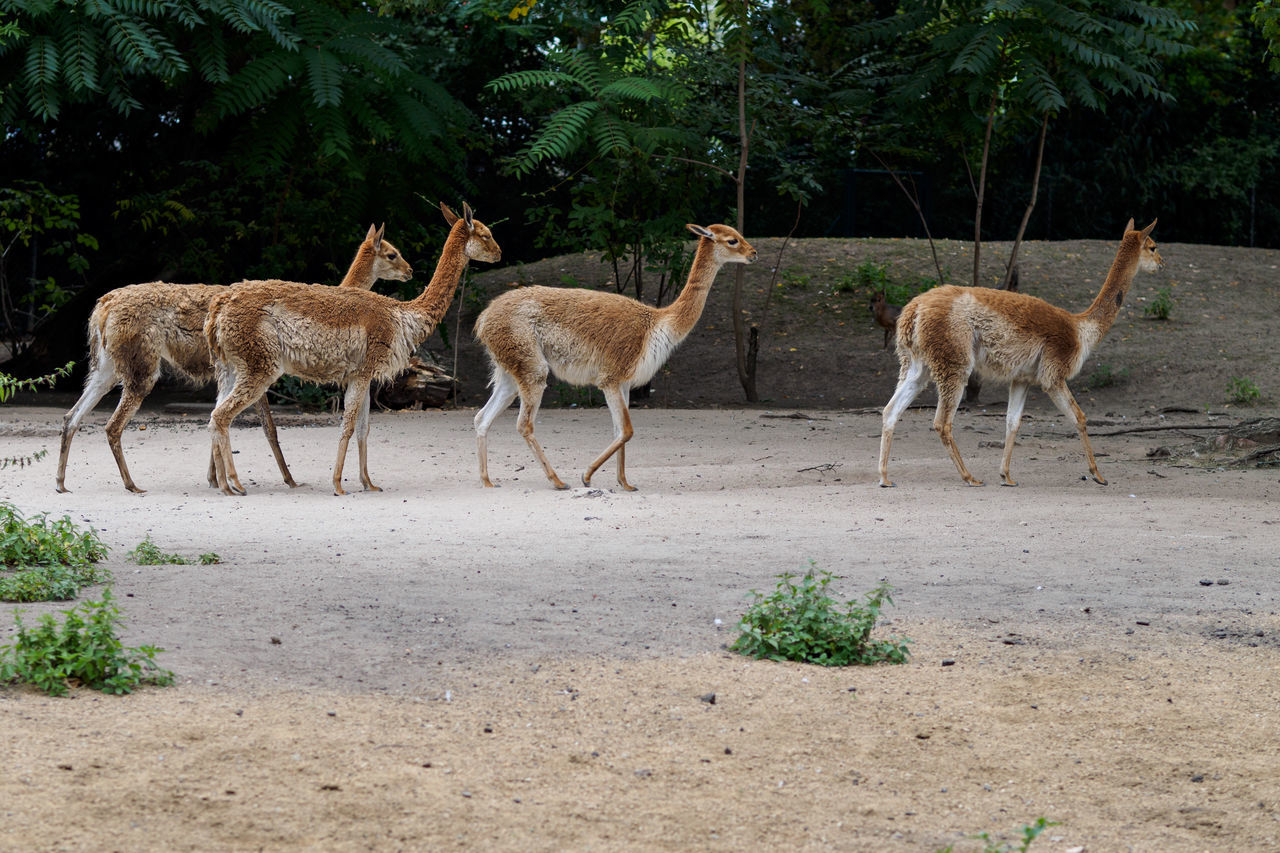 Alertness Animal Themes Animals In The Wild Arid Climate Day Deer Domestic Animals Frankfurt Full Length Mammal Nature One Animal Outdoors Relaxation Side View Standing Togetherness Two Animals Wildlife Zoo Zoology