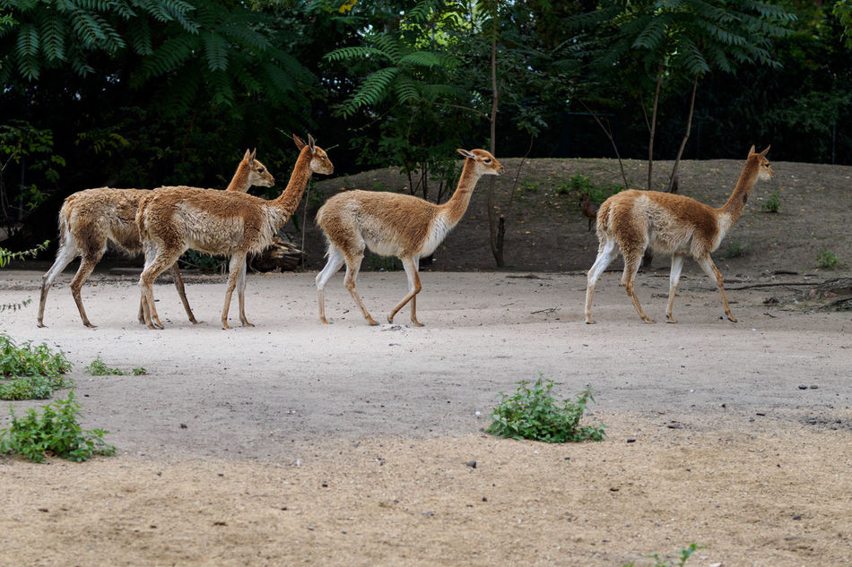 Beautiful stock photos of llama, Animal Themes, Animal Wildlife, Animals In The Wild, Day