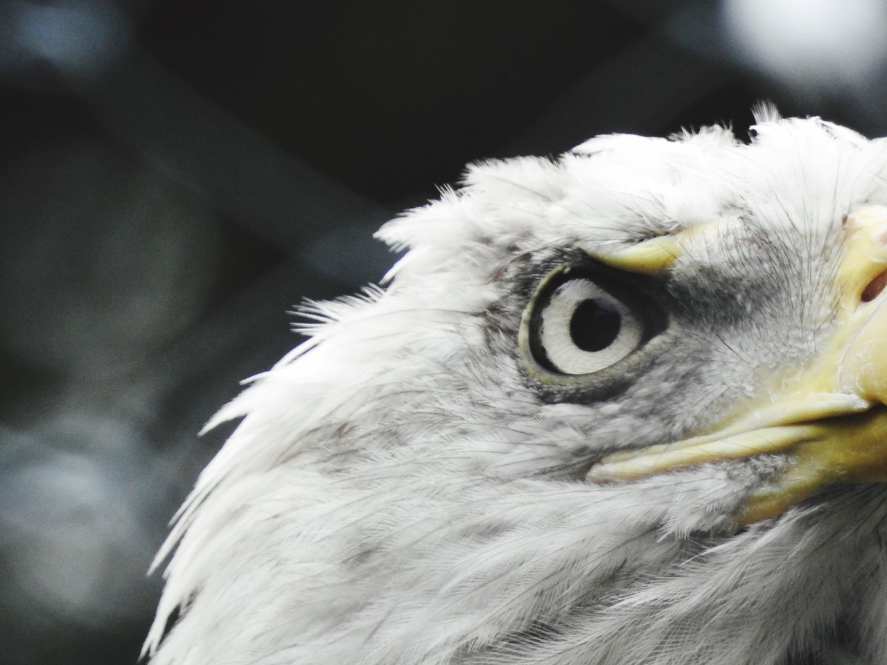 Beautiful stock photos of eagle, Animal Eye, Animal Themes, Animal Wildlife, Animals In The Wild