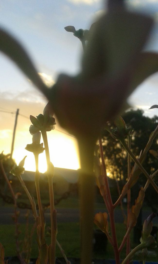 Flowers,Plants & Garden Silohette Lightandshadow Sunset