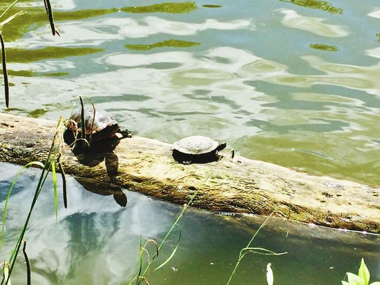 Turtle Love Turtle 🐢 Turtles Turtle Grass Young Animal Outdoors Waterfront Day Animal Wildlife Floating On Water Nature Swimming Lake Water Lake View Summer Summertime черепаха озеро Schildkröte Teich Wasser Nature_collection Nature