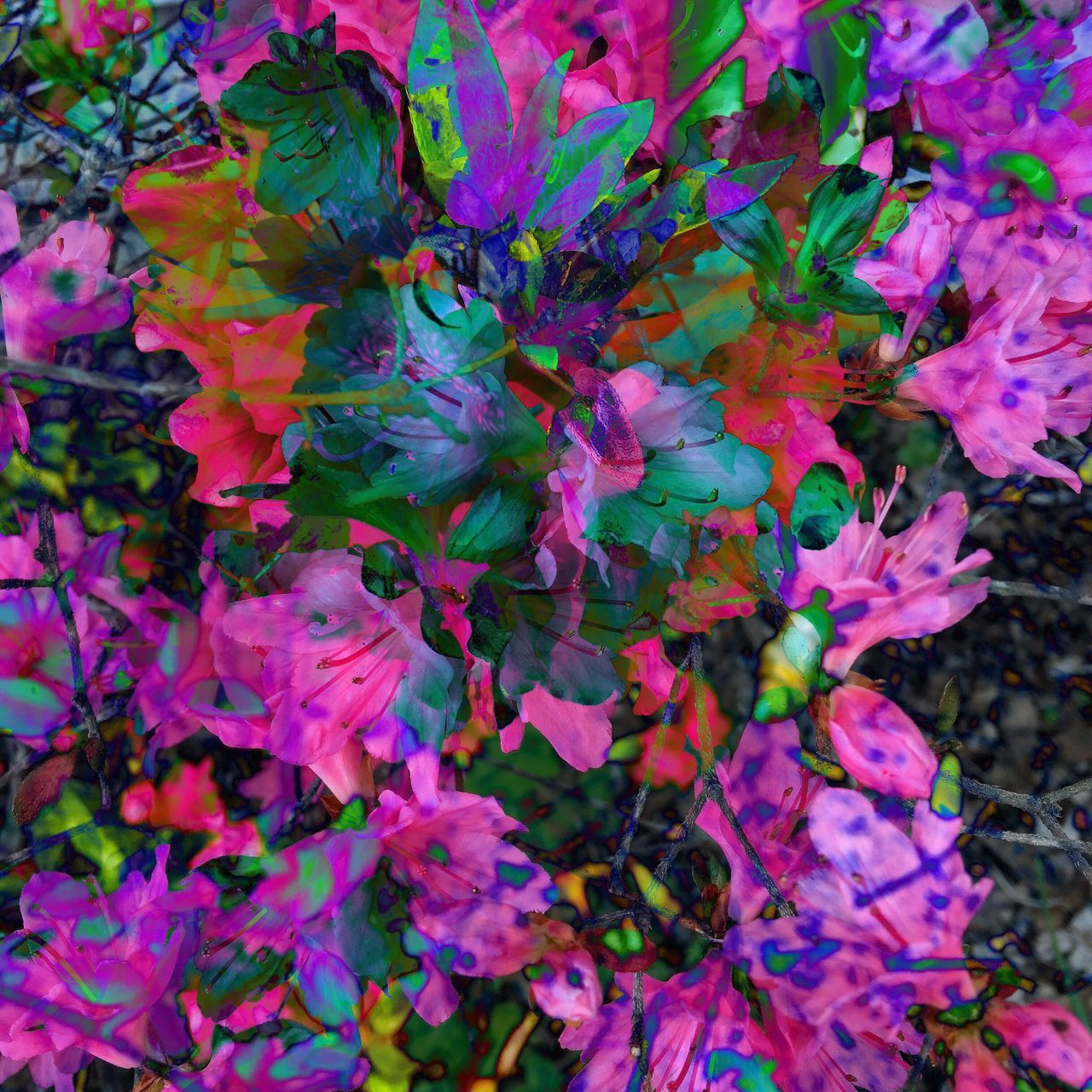 My azaleas doubleexposed Photoshopexpress Check This Out Taking Photos Enjoying Life Camerafilters Color Photography Check This Out