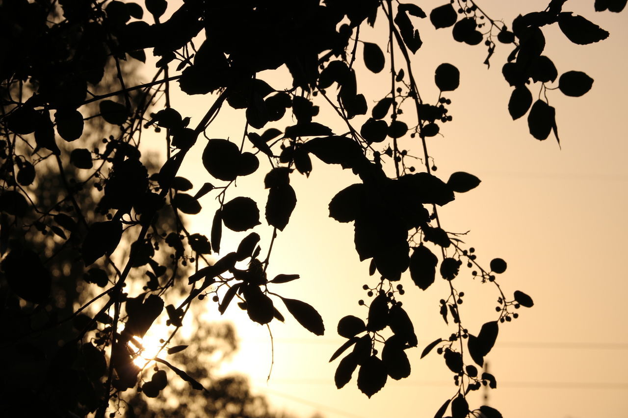 beauty in nature, nature, silhouette, sunset, outdoors, tree, low angle view, no people, growth, tranquility, sky, plant, scenics, clear sky, branch, day, close-up