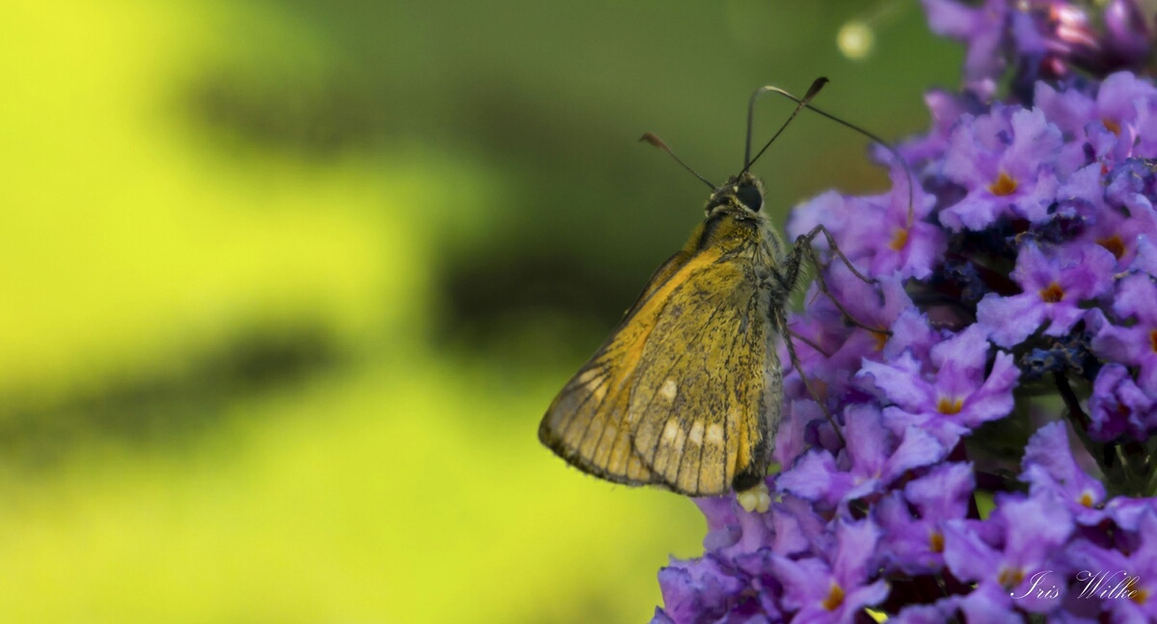 flower, one animal, insect, animal themes, animals in the wild, wildlife, fragility, freshness, pollination, petal, focus on foreground, beauty in nature, close-up, growth, bee, nature, plant, flower head, symbiotic relationship, butterfly