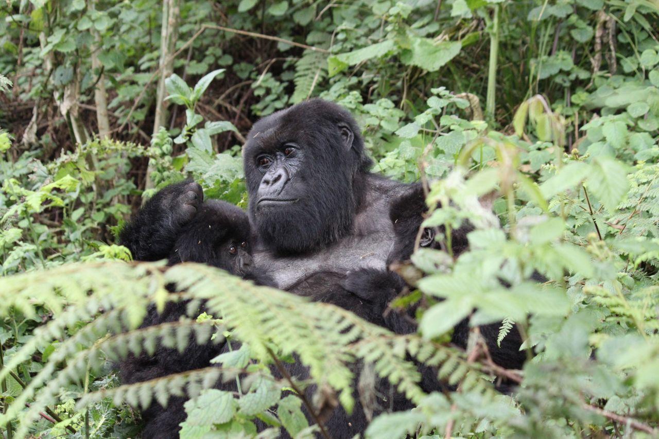 gorilla, animals in the wild, mammal, no people, endangered species, ape, animal themes, nature, plant, one animal, animal wildlife, black color, chimpanzee, outdoors, day, portrait, close-up