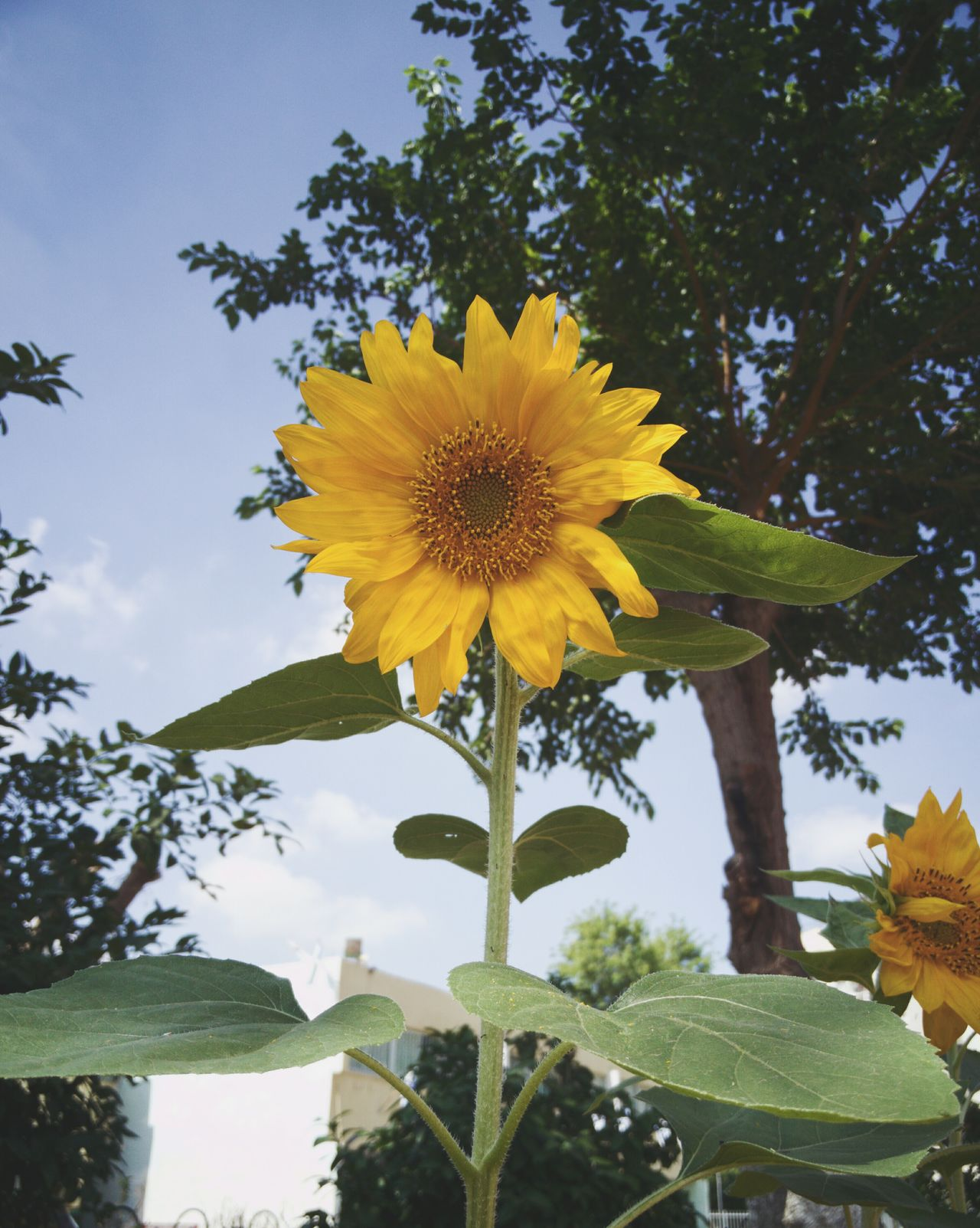 Sunflower 🌻 shiny Flower Yellow Flower Head Plant Petal Botany Leaf Beauty In Nature Nature Growth Fragility Sunflower Freshness Low Angle View Close-up Plants And Flowers Freshness Beauty In Nature Live For The Story BYOPaper! The Great Outdoors - 2017 EyeEm Awards