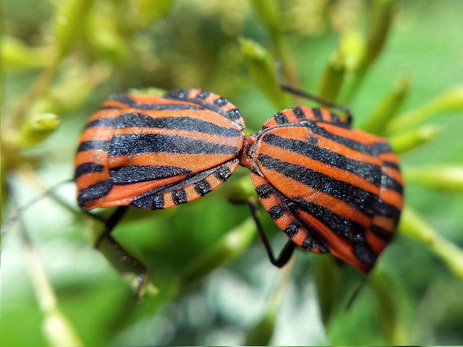 Graphosoma Italicum copulation - Serchio River Arthropoda Beauty In Nature Close-up Copulating Copulation Graphosoma Lineatum Hexapoda Insecta Nature Outdoors Pentatomidae