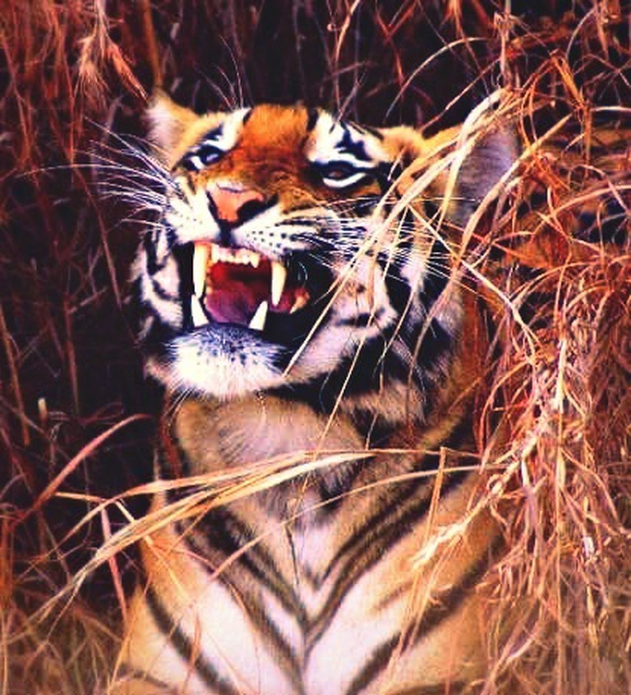 Royal Bengal Tiger Tiger Wildlife Animals In The Wild Wildlife Encounter King Of The Jungle Predator