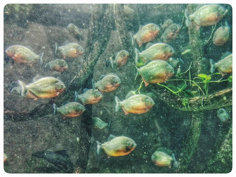 Piranha s at Acquario Di Genova. Through The Window Fish Underwater Animal Themes No People Swimming Nature Full Frame Large Group Of Animals Water Indoors  Fish Tank Genova. Voracious Smartphone Photography Note 2 Eyeem Edit