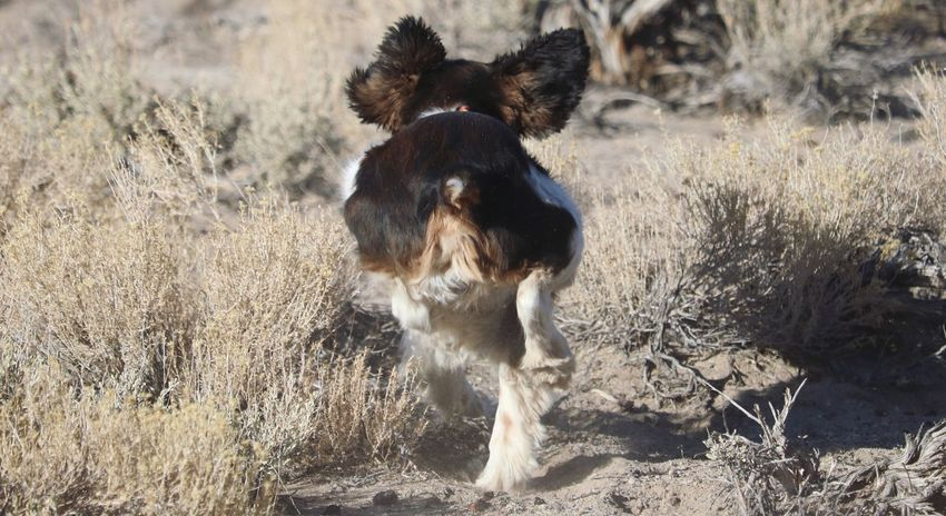 Nature Outdoors Running No People English Springer Spaniel Domestic Animals Dog Animal Themes Pets Mammal One Animal Field