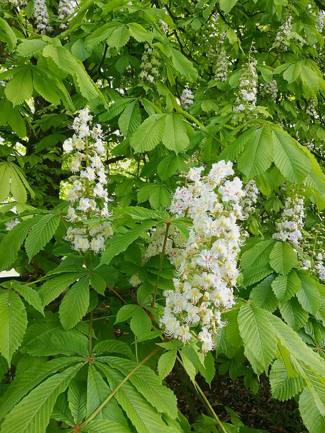 Green Color Growth Spring Growth Spring Green Springtime Garden Leaf Leaves🌿 Horsechestnut Horse Chestnut Flowers Conkertree Blossom Blossoming Fresh & Bright Freshness Spring Freshness Smartphonephotography P9 Huawei Nature Outdoors Tree Branch Spring Day Green And White Green Green Leaves