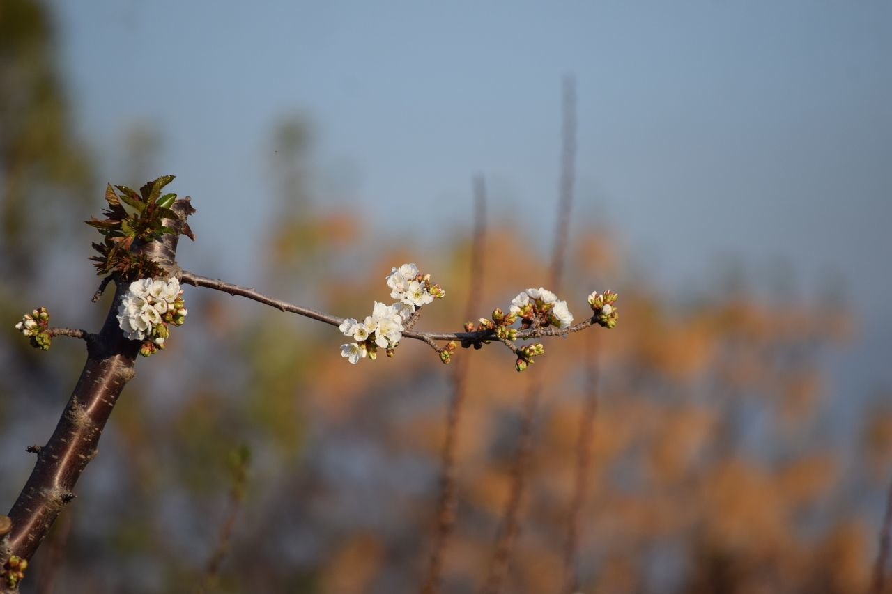 flower, nature, fragility, growth, beauty in nature, focus on foreground, blossom, day, close-up, outdoors, no people, freshness, springtime, tree, flower head, branch, plant